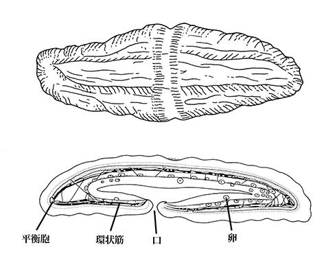脳や肛門や生殖器がなく謎の多い「珍渦虫(ちんうずむし)」の新種を日本近海で発見  [786271922]->画像>25枚